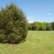 An evergreen tree by a green lawn — Stock Photo #2614977