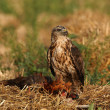 Постер, плакат: Buzzard eagle