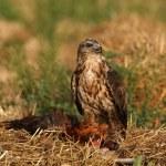 ������, ������: Buzzard eagle