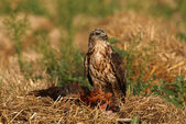 Buzzard eagle — Stock Photo