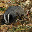 Stock Photo: Badger, Meles meles