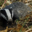 Badger — Stock Photo