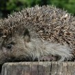 Stock Photo: Forest Hedgehog