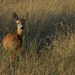 Roe deer — Stock Photo #2390840