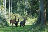 European deer — Stock Photo