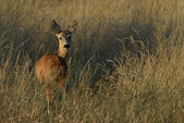 Roe deer — Foto de Stock