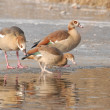 Egyptian goose — Stock Photo #2466860