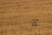 Rabbits in the Rye — Stock Photo