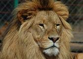 Re leone — Foto Stock