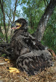 White-tailed eagle in the nest — Stock Photo