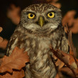 LLittle Owl - Foto Stock