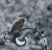 Common Starling in snow — Stock Photo