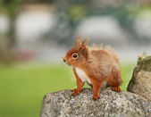 Red Squirrel plucking up courage — Stock Photo