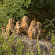 Baboon family group — Stock Photo