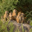 Baboon family group - Stock Photo
