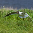 Black-headed Gull scavenging — Stock Photo #2334396