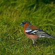 Stock Photo: Common Chaffinch