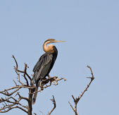 African Darter — Stock Photo
