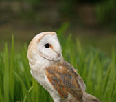 Barn Owl close-up — Stock Photo