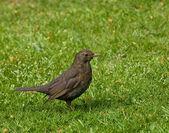 Common Blackbird female — Stock Photo