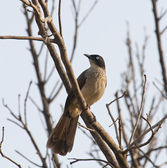 Black-cap Babbler in The Gambia — Stock Photo
