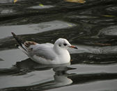 Black-headed Gull reflection — Stock Photo