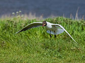 Black-headed Gull scavenging — Stock Photo