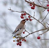 Bohemian Waxwing eating berry — Stock Photo