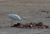 Cattle Egret on Tanji Beach — Stock Photo