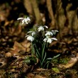 Snowdrops in dappled sunlight — Foto Stock
