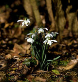 Snowdrops in dappled sunlight — Stock Photo