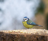 Blue Tit on seed table — Stock Photo