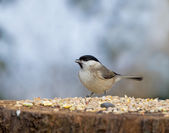 Marsh Tit with seed — Stock Photo