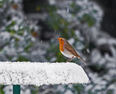 Robin on Snowy Feeder — Stock Photo