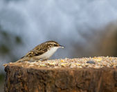 Treecreeper on Table — Stock Photo