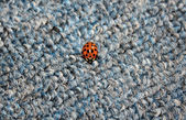 Lady Bug on Carpet — Stock Photo