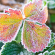 Frosted Strawberry Leaves — Stock Photo
