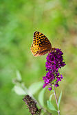 Great Spangled Fritillary Butterfly — Stock Photo