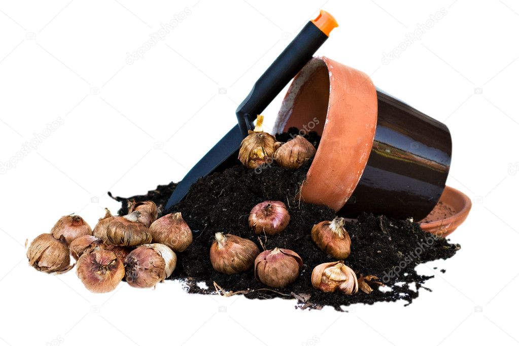 Clay Pots spilling out rich soil and gladioli corms   Stock Photo #2539337