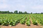 Campo de tabaco — Foto Stock