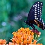 Постер, плакат: Swallowtail Butterfly