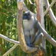 Wild monkey — Stock Photo #2354946