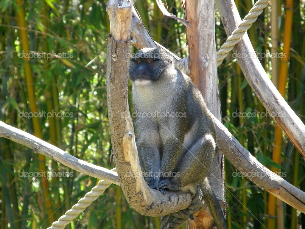 Portrait of a wild monkey in tree  Stock Photo #2354946
