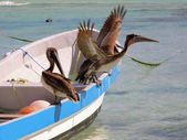 Pelican on boat — Stockfoto