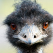 Ostrich portrait — Stock Photo