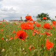 A field of poppy flowers — Stock Photo