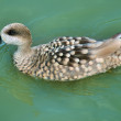 Marbled Teal — Stock Photo