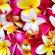 Multi Colored Plumeria Blossoms — Stock Photo