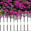 Stock Photo: White Picket Fence With Bougainvilla