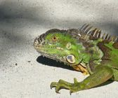 Green Iguana Portrait — Stock Photo